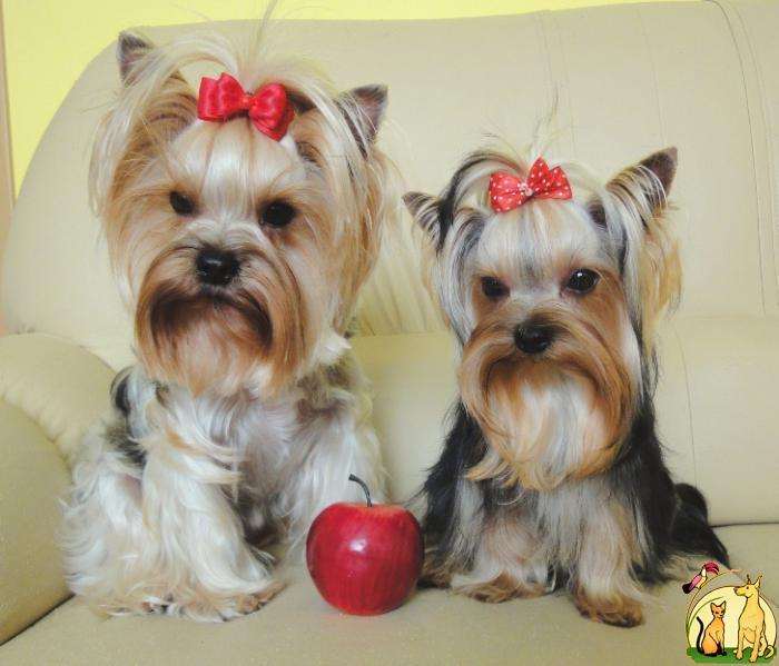 Стандарт породы «йоркширский терьер»: описание характера и особенные черты собак