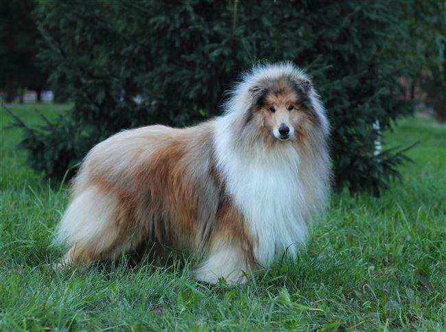 Косматый шотландский пастух — бородатый колли