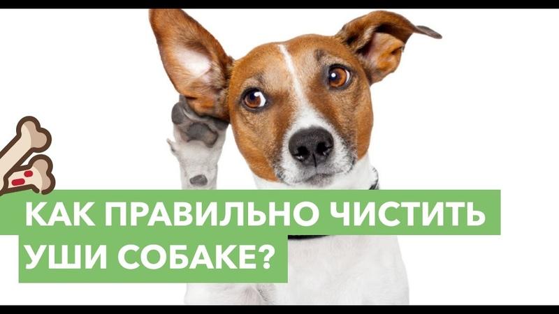 Правила чистки ушей у собаки
