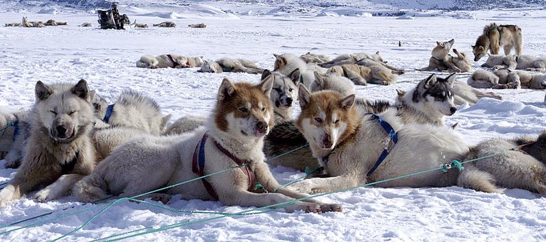 Якутская лайка: характеристика породы, фото