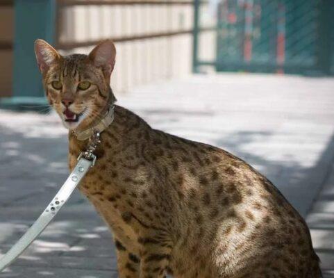 Порода кошек ашера: описание, фото, история, уход и содержание породы