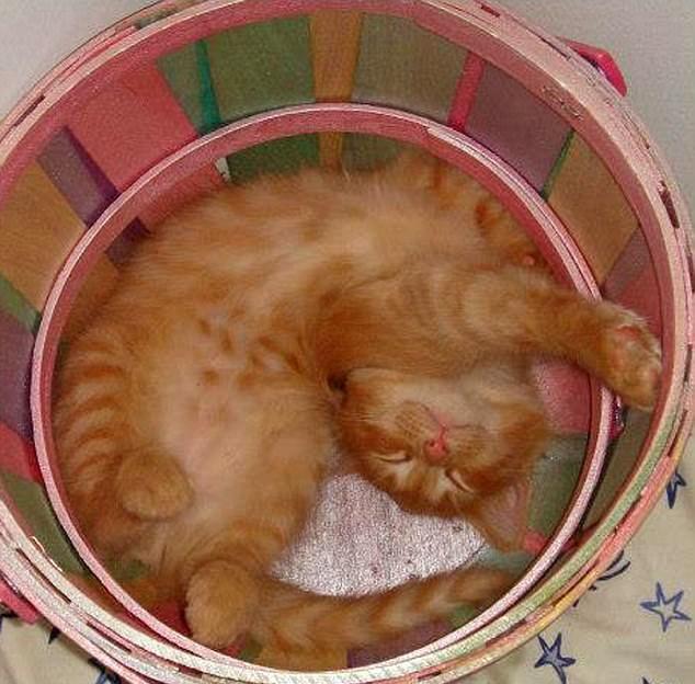 Положение кошки во время сна может многое рассказать о состоянии питомца
