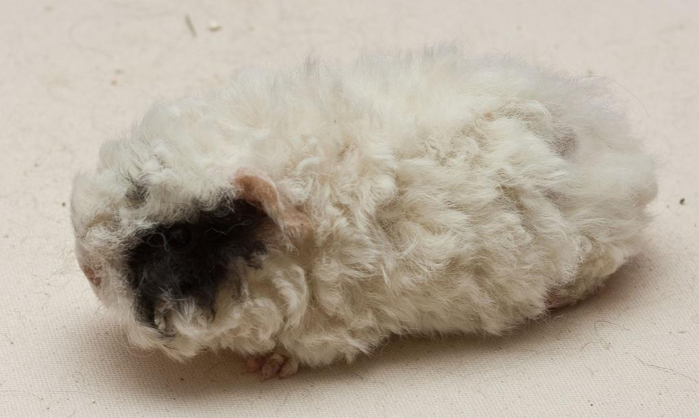 Топ-9 пород длинношерстных морских свинок