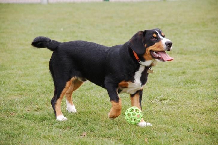 Зенненхунд собака. описание, особенности, виды, цена и уход за породой зенненхунд | живность.ру