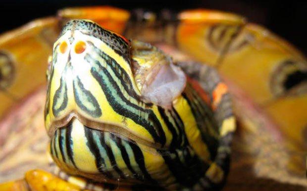 Черепаха красноухая: кормление, уход и размножение