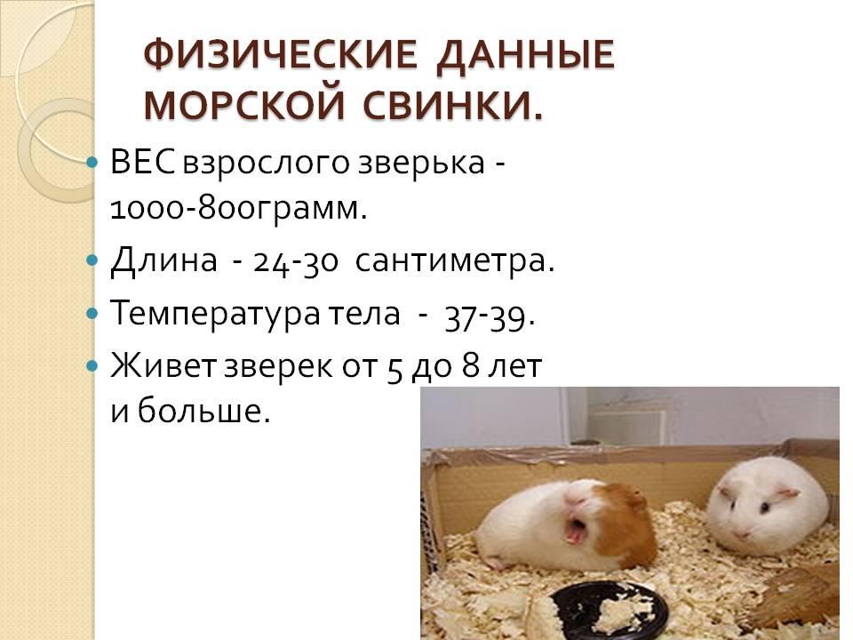 Интеллект, характер и поведение морских свинок - люблю хомяков