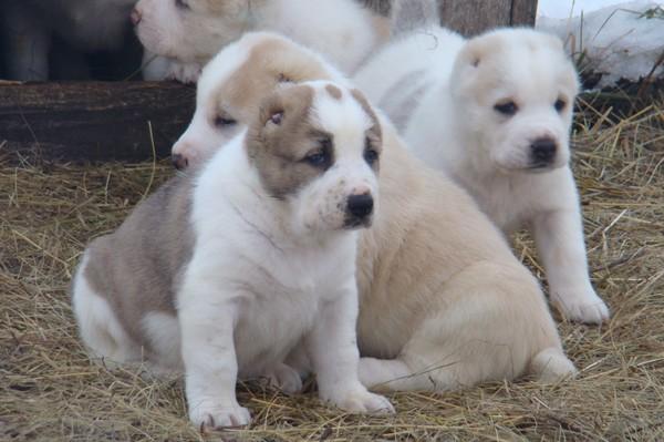 Среднеазиатская овчарка ???? фото, описание, характер, факты, плюсы, минусы собаки ✔