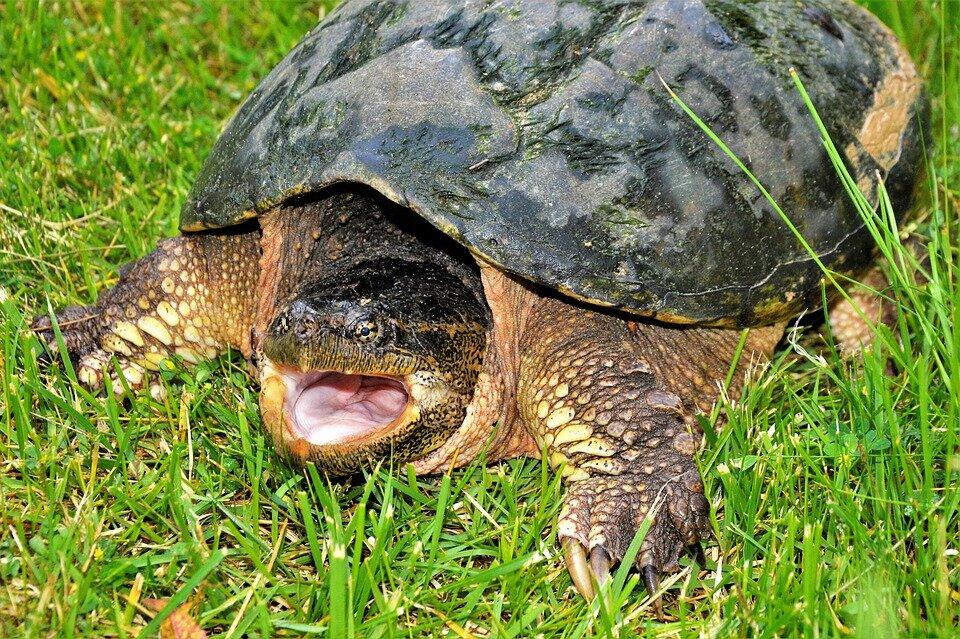 Иловые и мускусные черепахи (аквариумист). мускусная черепаха - содержание и уход в домашних условиях