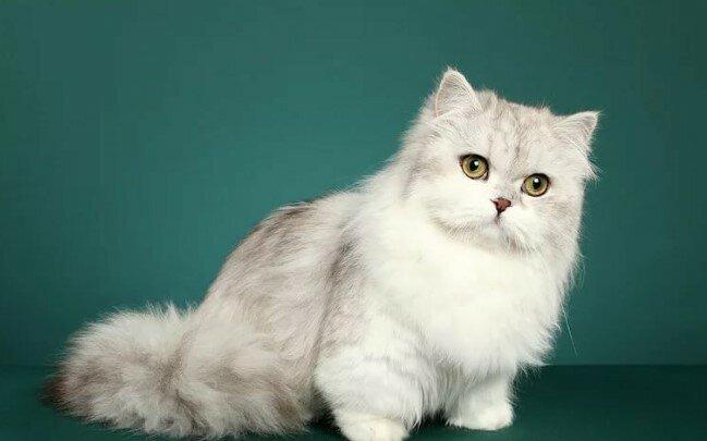 Подробное описание породы кошек менуэт (наполеон)