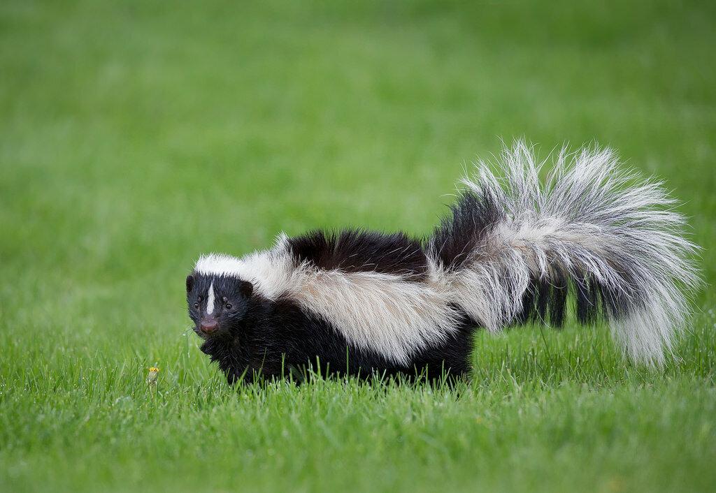 Скунс – самый вонючий зверь на планете