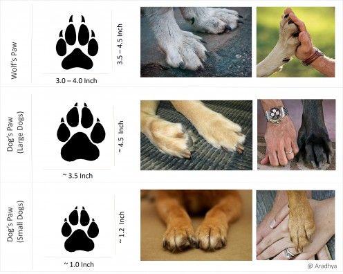 Как выглядят и чем отличаются следы собаки от следов волков