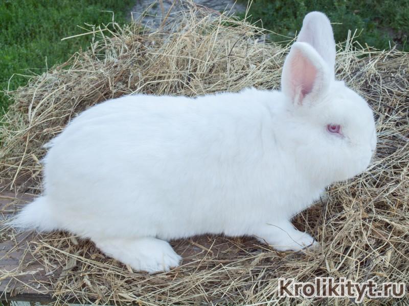 Новозеландский красный кролик: описание породы