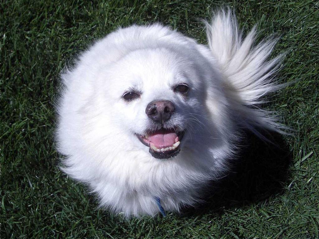 Померанский шпиц: все о собаке, фото, описание породы, характер, цена