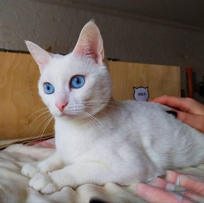 ???? глухая кошка: как узнать и определить самостоятельно, что ваша кошка глухая