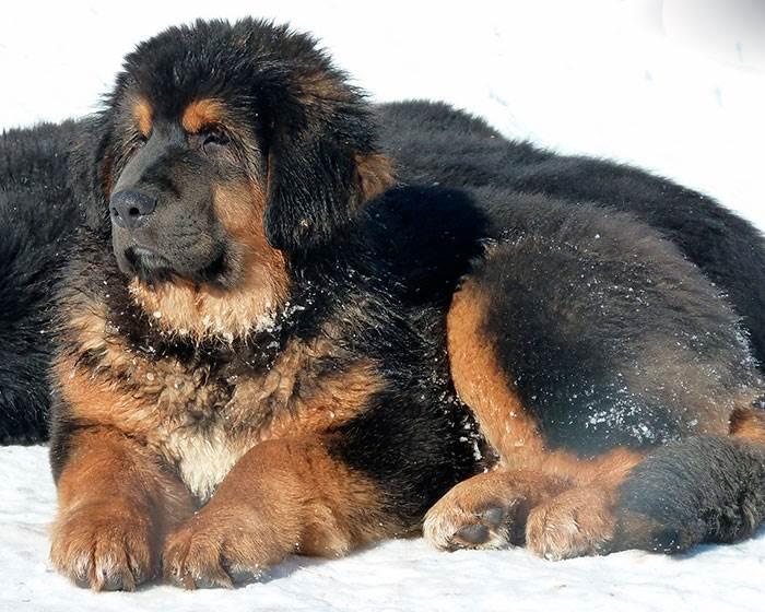 Тибетский мастиф: одна из самых крупных и дорогих собак