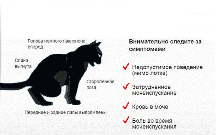 Лечение мочекаменной болезни (мкб) у котов: симптомы, куда обратиться в москве   ветеринарная клиника ирины оныщук