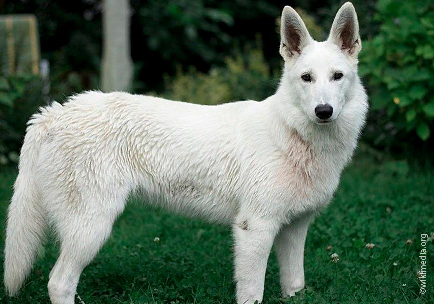 Белая швейцарская овчарка: фото, характер, воспитание и уход