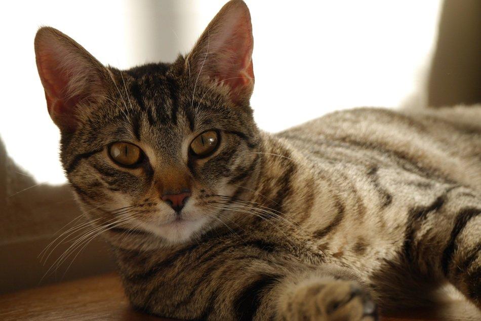 Азиатская табби. порода кошек. описание и фотографии | zoodom