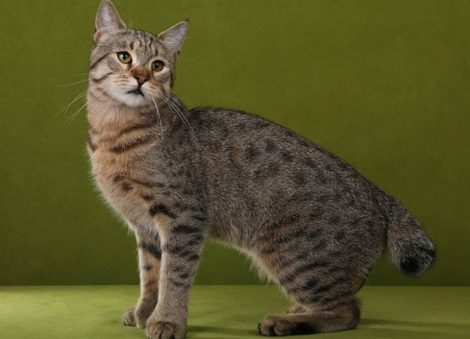 ᐉ азиатская табби - описание пород котов - ➡ motildazoo.ru