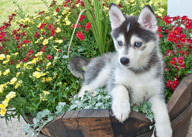 Порода смесь хаски и шпица: описание, стандарт породы, характер и дрессировка собаки, цена щенков, фото