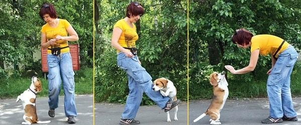 Дрессировка алабая в домашних условиях щенка и взрослого. дрессировка и самостоятельное воспитание алабая