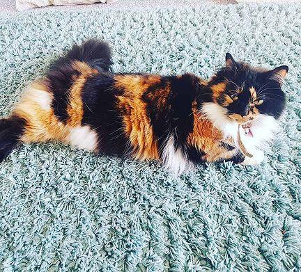 Какие гены отвечают за окрасы домашних любимцев, и какие бывают окрасы кошек - мир кошек