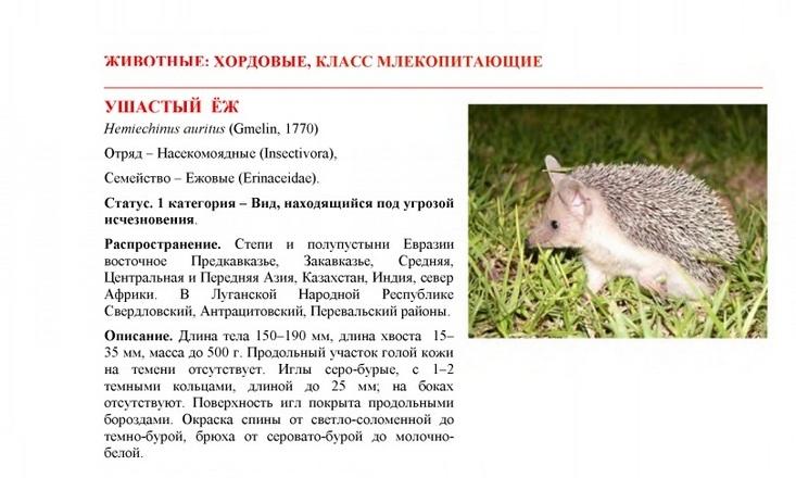 Еж обыкновенный (erinaceus europaeus): виды, фото