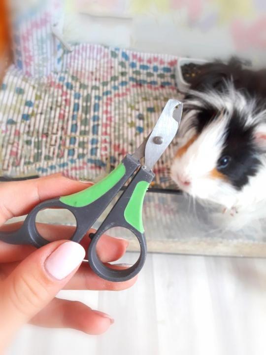 Как безопасно обрезать ногти морской свинке самостоятельно