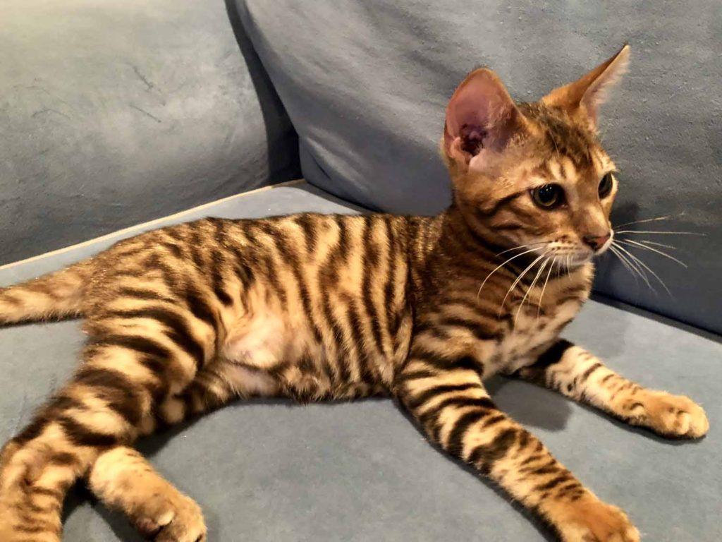 Тойгер: описание породы кошек, уход, фото и цена