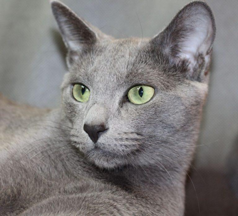 Русская голубая кошка: характер и поведение