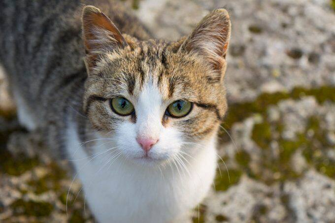 Американская жесткошерстная кошка — описание пород котов