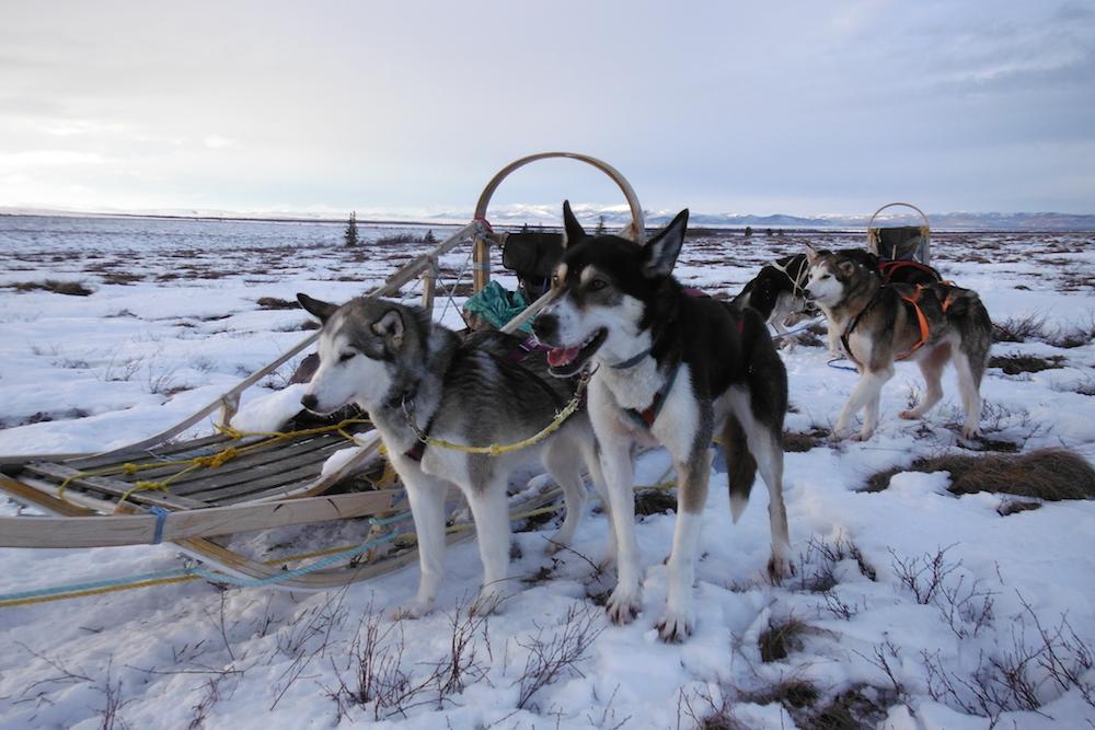 Верные друзья и средство передвижения: описание и фото ездовых пород собак