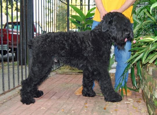 Русский черный терьер - русская служебная порода собак: описание породы и фото