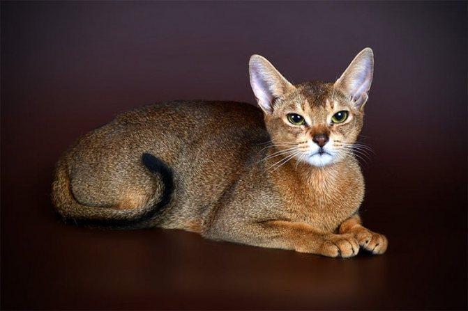 Чаузи кошка: описание породы и характера, внешность, уход и содержание, кормление