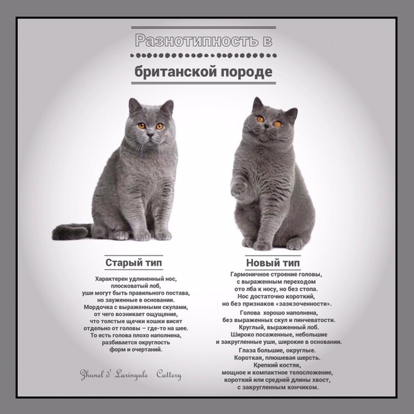 Кимрик — характеристика уэльской породы кошек, история происхождения, особенности внешнего вида