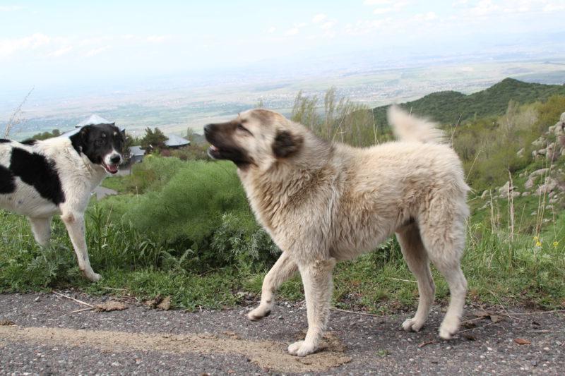 Мощный и сильный армянский волкодав – гампр