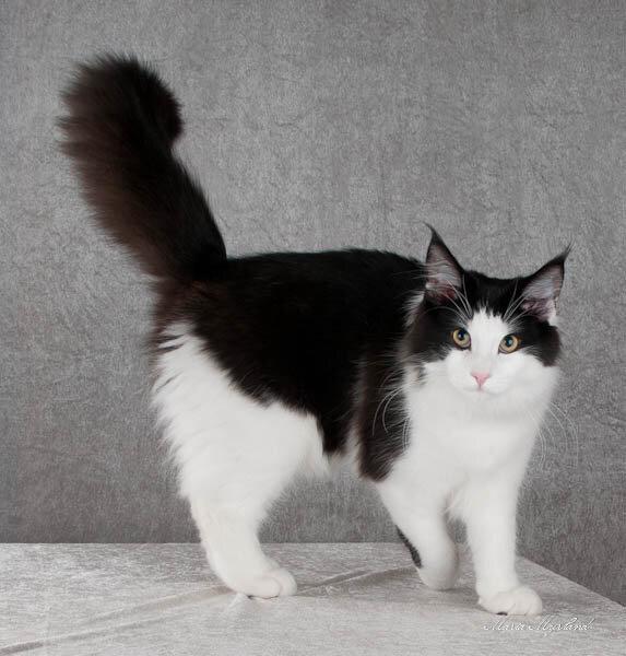 Все породы домашних кошек и котов с фотографиями и названиями: фото, описание характера - wlcat.ru