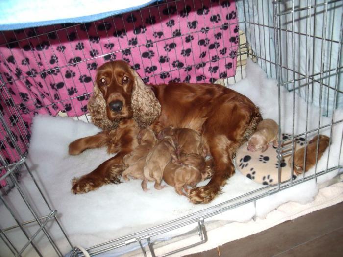 Беременность у собаки: признаки, сроки, ложная беременность, календарь и многое другое!