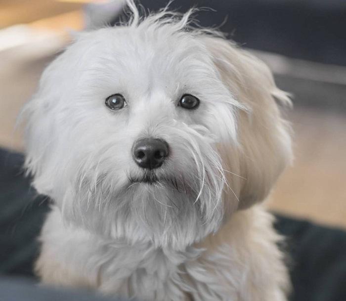Котон-де-тулеар: питомец, удостоенный звания «королевская собака мадагаскара»