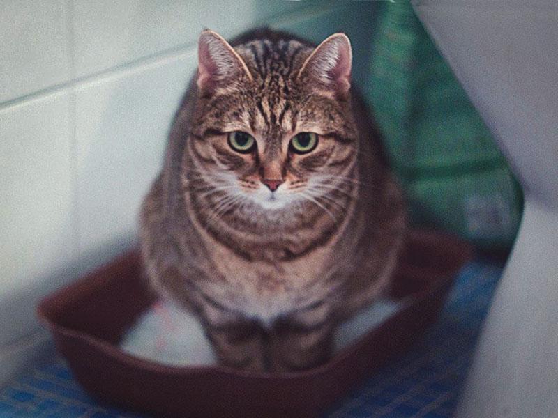 Почему кошка перестала ходить в лоток «по-большому»?