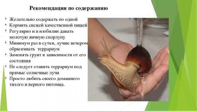 Чем и как кормить аквариумных улиток? 21 фото чем они питаются в аквариуме с рыбками? кормление в домашних условиях, корм для маленьких улиток