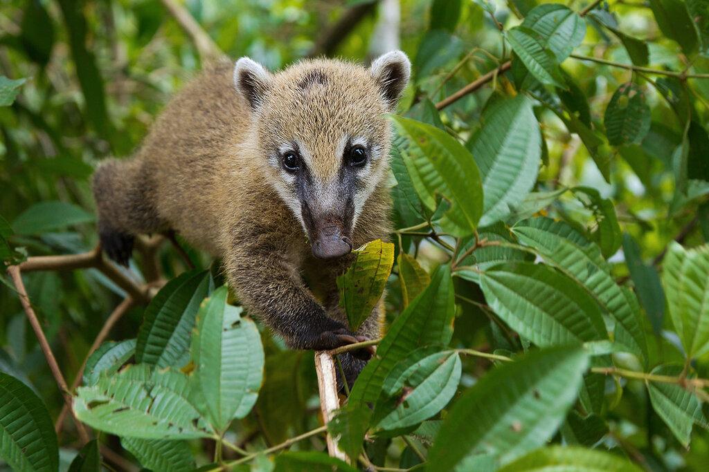 Контактный зоопарк «обнимашки» — носуха коати