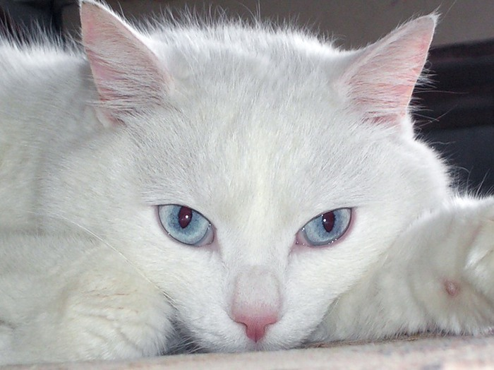 Почему белые кошки глухие и все ли они такие?