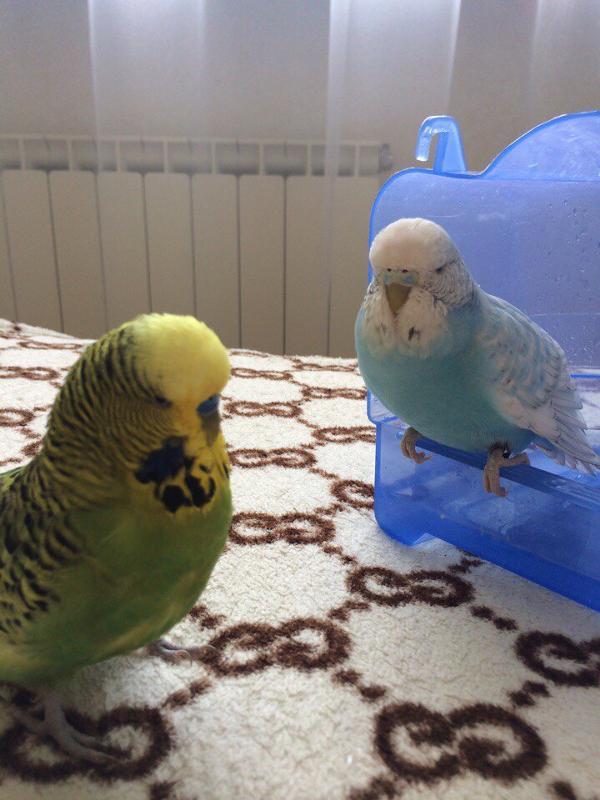Как быстро и правильно приручить волнистого попугая к рукам