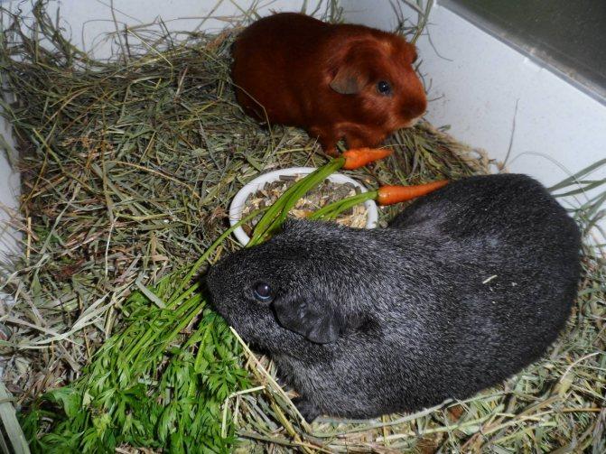 Морская свинка. содержание, уход и кормление.