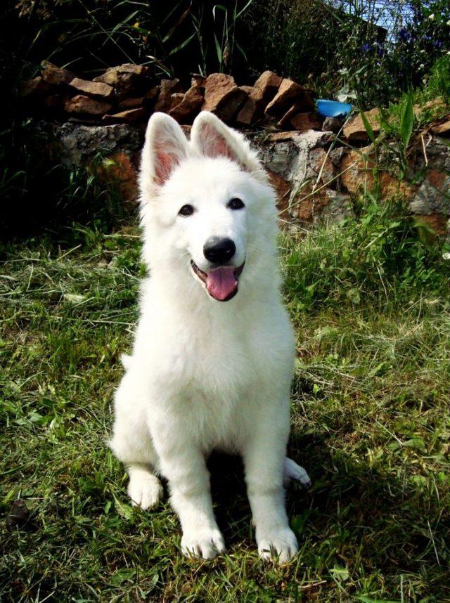 Белая швейцарская овчарка — описание и обзор стандартов породы. 110 фото и видео советы по выбору щенков