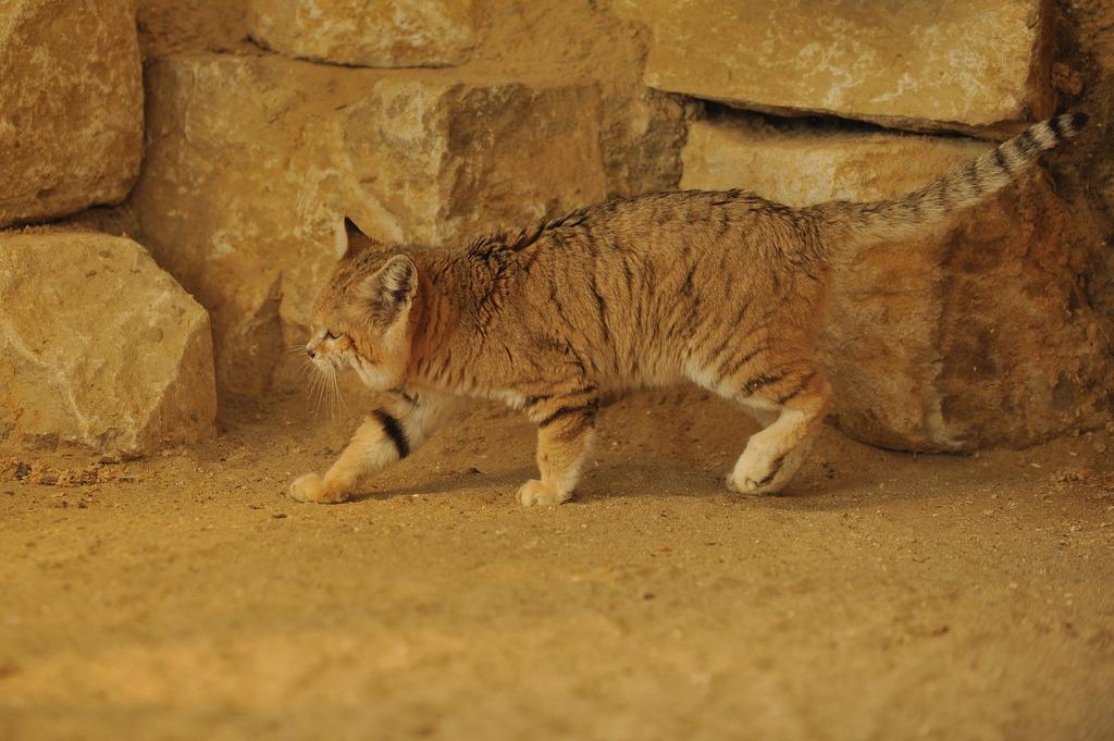 Барханный (песчаный) кот: фото, цена
