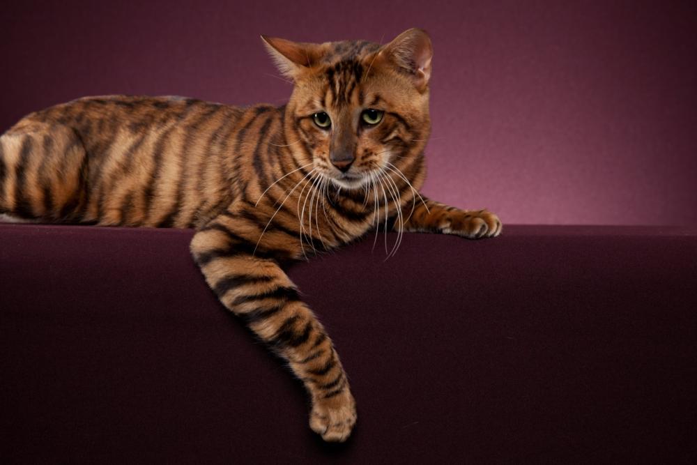 Кошка тойгер: фото, описание породы и особенности ухода