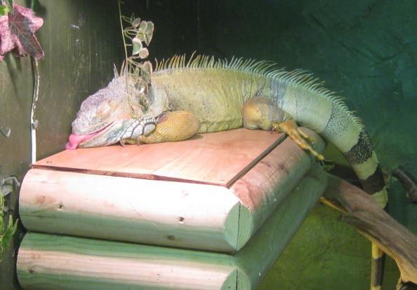 Игуана: общие рекомендации по содержанию в неволе | zoodom
