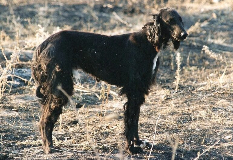 Тайган (39 фото): что это за порода? как правильно ухаживать за собакой?